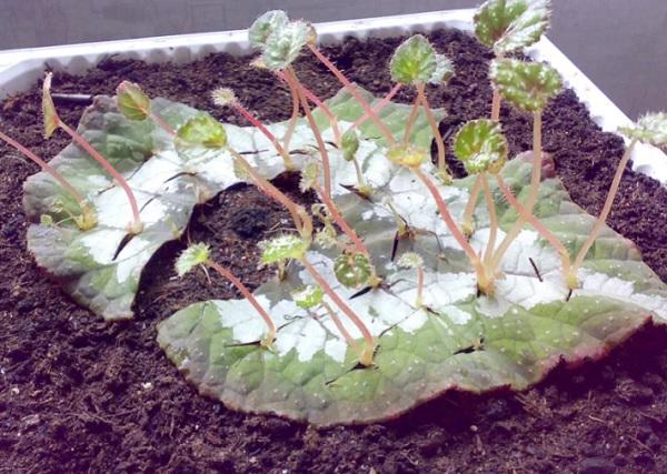 Размножение листом с надрезами