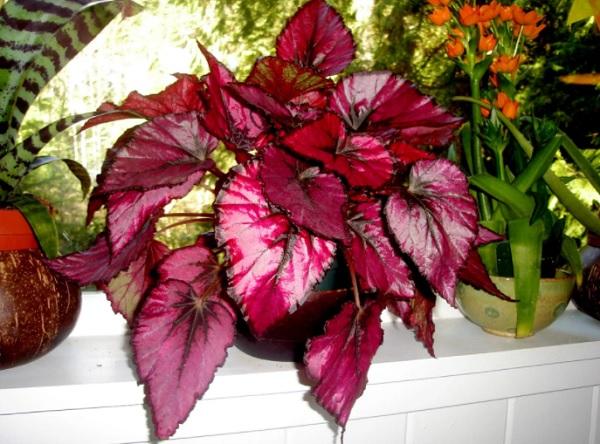 Бегония Рекс с красными листьями
