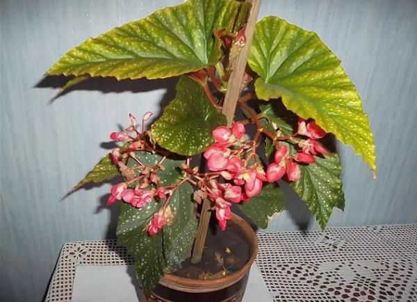 Подвязанный цветок
