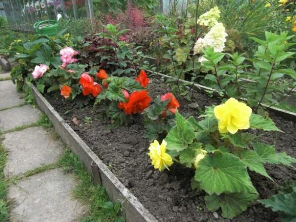 Бегония в саду клубневая