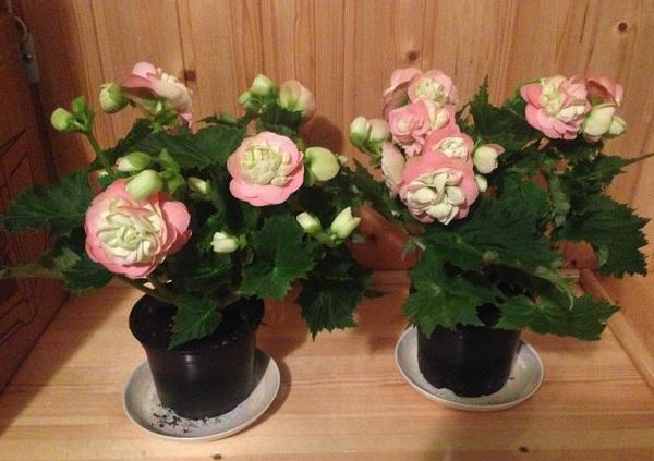 Элатиор розовая с белым