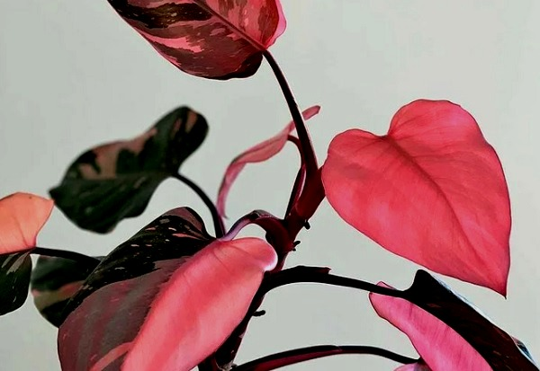 Филодендрон Розовая принцесса