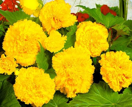 Фимбриата жёлтая
