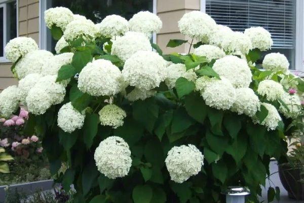 Гортензия Анабель в цвету