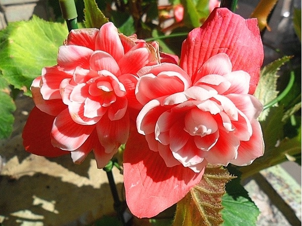 Камелия Флора