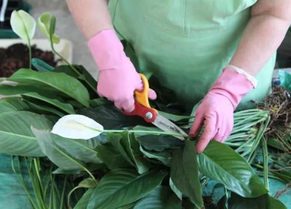 Обрезка зеленых цветов у спатифиллума