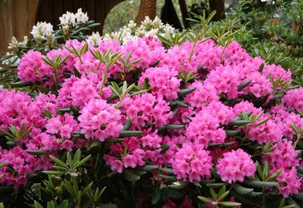 Рододендрон розовый Гаага