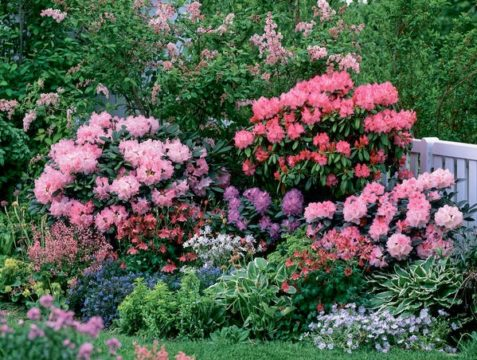 Rododendrony-v-landshaftnom-dizajne-477x360.jpg