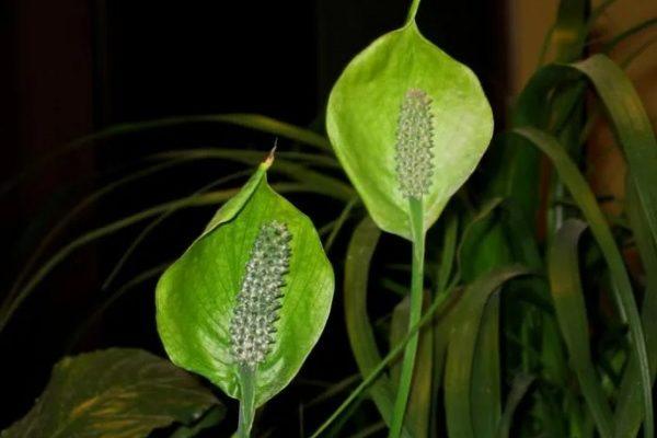 Спатифиллум с зелеными цветами