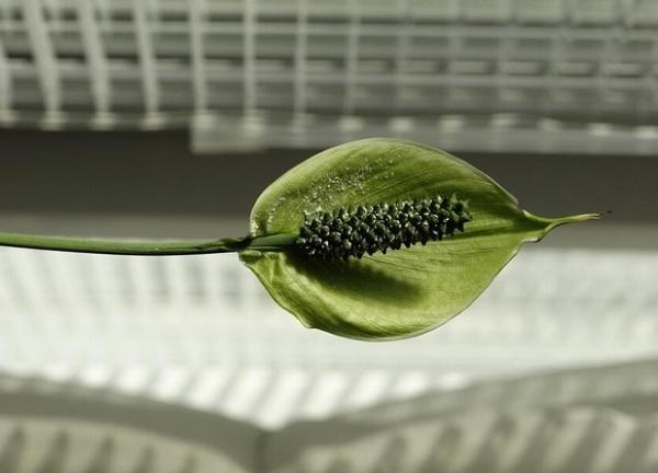 Старый цветок спатифиллума