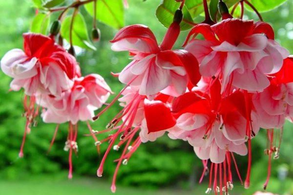 Цветение садовой фуксии