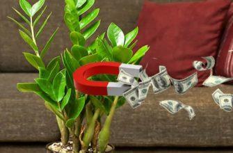 Замиокулькас притягивает деньги