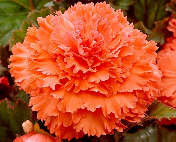 Фимбриата Оранжевая