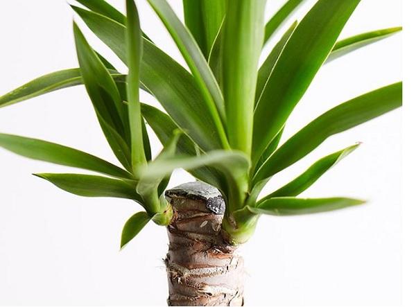 Обрезка юкки под ананас