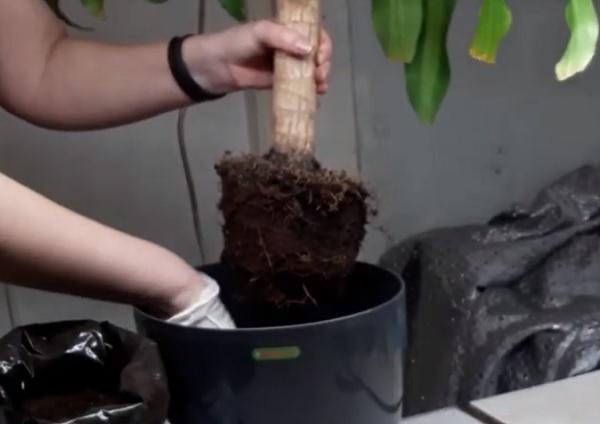 Перемещение юкки в другой горшок