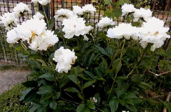 Цветение белых пионов