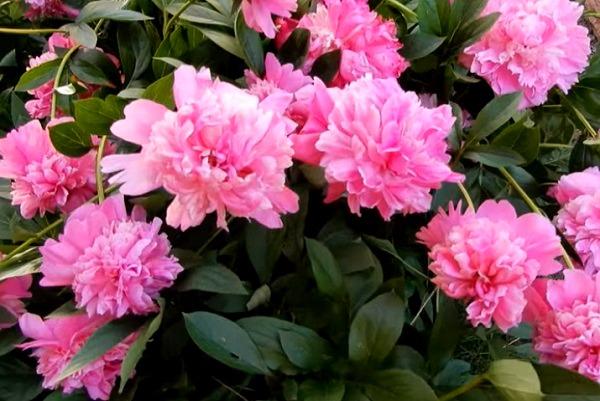 Цветение розовых пионов