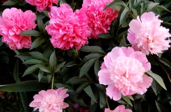 Красные и розовые пионы