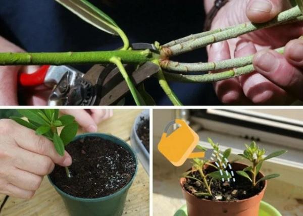Размножение рододендрона