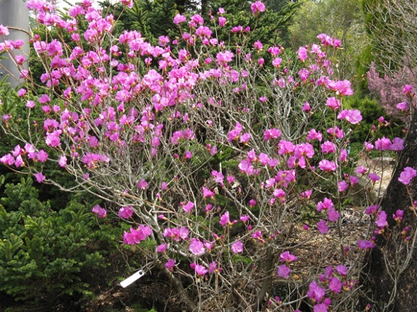 Rhododendron dahuricum