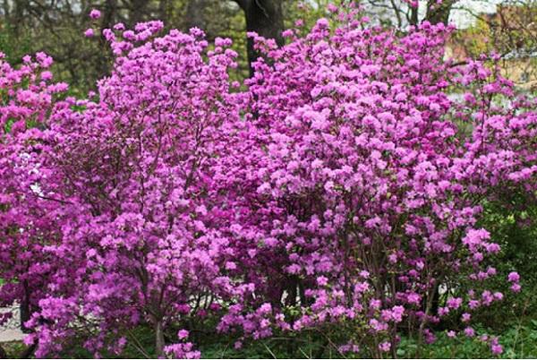 Rhododendron ledebourii