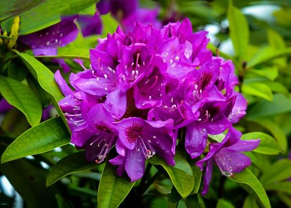 Royal Lilac