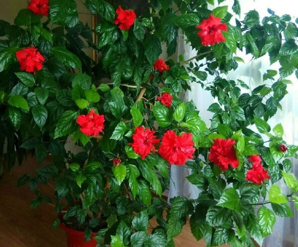 Цветущая китайская роза