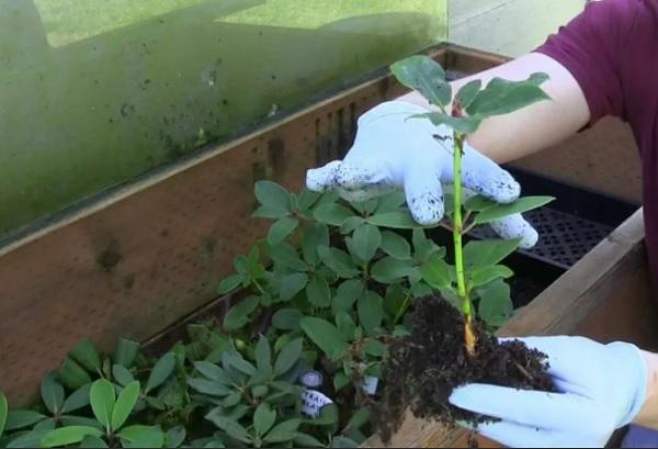 Укоренение черенков в почве