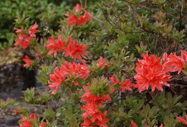 Японский рододендрон