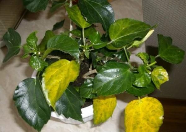 Желтеющие листья у гибискуса