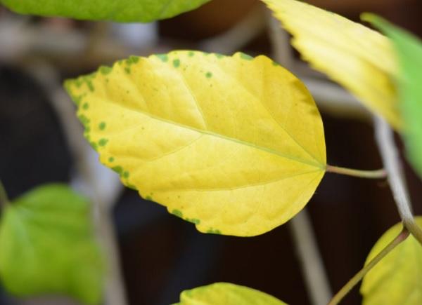 Желтый лист гибискуса