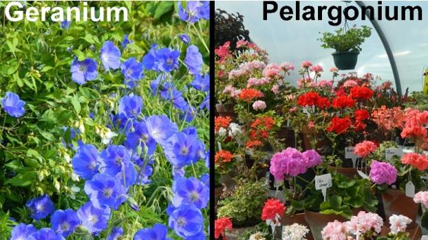 Отличие герани от пелларгонии
