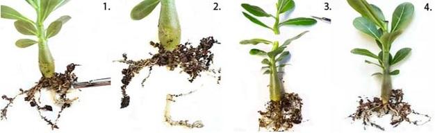 Формирование корней